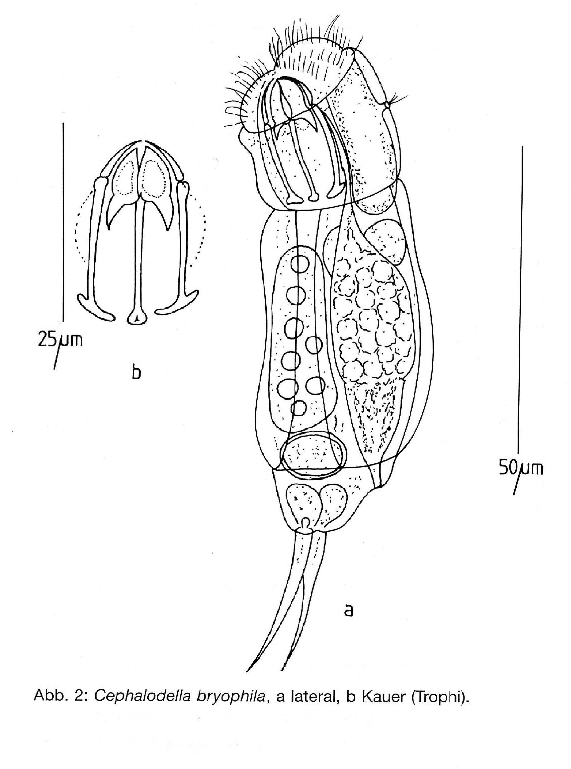 Rotifera rotundă - Cele mai mici nevertebrate din lume, rotiferele